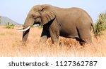 elephant wildlife safari in the ... | Shutterstock . vector #1127362787