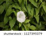 white calystegia also called... | Shutterstock . vector #1127395379