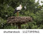 portrait of a static stork on a ... | Shutterstock . vector #1127395961