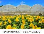garden of sunflower  helianthus ...   Shutterstock . vector #1127428379