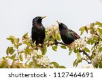 a pair of starlings sitting on... | Shutterstock . vector #1127464691