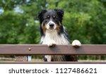 australian shepherd with paws... | Shutterstock . vector #1127486621