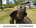 aldabra giant tortoise ...   Shutterstock . vector #1127494604