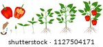cycle of growth of a plant of... | Shutterstock .eps vector #1127504171