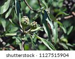 weeping pear trees   Shutterstock . vector #1127515904