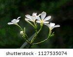 white plumeria obtusa  ... | Shutterstock . vector #1127535074
