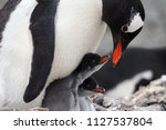 Stock photo  caring gentoo penguin with two chicks pygoscelis papua 1127537804
