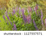blooming lupine summer flowers. ... | Shutterstock . vector #1127557571