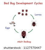 bed bug development round... | Shutterstock .eps vector #1127570447
