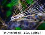 ears of wheat ready to harvest... | Shutterstock . vector #1127638514