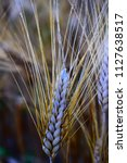 ears of wheat ready to harvest... | Shutterstock . vector #1127638517