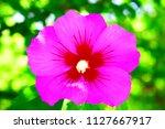 beautiful purple flower in the...   Shutterstock . vector #1127667917