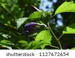 purple flower bud about to...   Shutterstock . vector #1127672654
