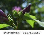 purple flower bud about to...   Shutterstock . vector #1127672657