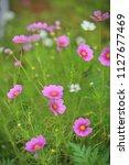 pink cosmos flowers in sunlight   Shutterstock . vector #1127677469