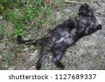 cat is resting on the grass of...   Shutterstock . vector #1127689337