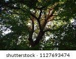tree under the sunlight at...   Shutterstock . vector #1127693474