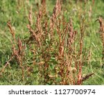 rumex obtusifolius  commonly... | Shutterstock . vector #1127700974