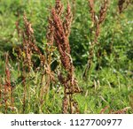 rumex obtusifolius  commonly... | Shutterstock . vector #1127700977