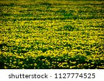 vast vield of dandelions...   Shutterstock . vector #1127774525