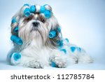 Stock photo shih tzu dog with curlers 112785784