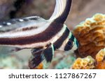 Coral reef in Carbiiean Sea spotted drum or spotted ribbonfish,Equetus punctatus