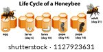 life cycle of a honeybee... | Shutterstock .eps vector #1127923631