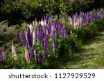 lupins in new zealand | Shutterstock . vector #1127929529