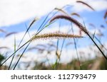 Flower foxtail weed in the green nature - stock photo