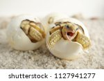 Stock photo close up baby tortoise hatching african spurred tortoise birth of new life cute baby animal 1127941277