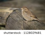 the house sparrow  passer... | Shutterstock . vector #1128029681