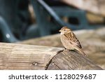 the house sparrow  passer... | Shutterstock . vector #1128029687