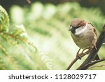 the house sparrow  passer... | Shutterstock . vector #1128029717