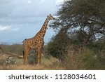 giraffes walk in the savannah... | Shutterstock . vector #1128034601