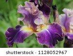 Iris  Blossoming Irises In The...