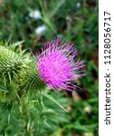 a wild blooming purple thistle... | Shutterstock . vector #1128056717
