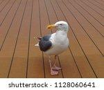 seagull standing on the floor...   Shutterstock . vector #1128060641