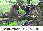 hluhluwe imfolozi park  baboons ... | Shutterstock . vector #1128233681