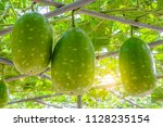 The Fruit Of Winter Melon ...
