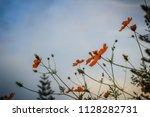 beautiful yellow cosmos flower  ... | Shutterstock . vector #1128282731