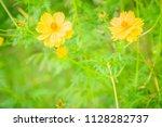 beautiful yellow cosmos flower  ... | Shutterstock . vector #1128282737