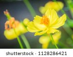 beautiful yellow cosmos flower  ... | Shutterstock . vector #1128286421