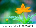 beautiful yellow cosmos flower  ... | Shutterstock . vector #1128286424