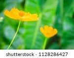 beautiful yellow cosmos flower  ... | Shutterstock . vector #1128286427