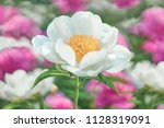 Stock photo white flower peony flowering on background pink and white flowers 1128319091