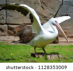 pelicans are a large water... | Shutterstock . vector #1128353009