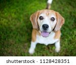 a red and white beagle dog...   Shutterstock . vector #1128428351