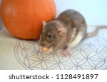 cute baby rat  sitting next to... | Shutterstock . vector #1128491897