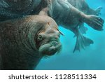 Walruses Swim Under Water In...