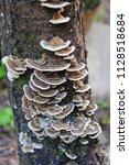 tinder fungus  polyporaceae ...   Shutterstock . vector #1128518684
